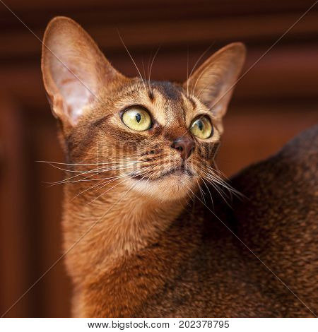 Abyssinian rudy cat