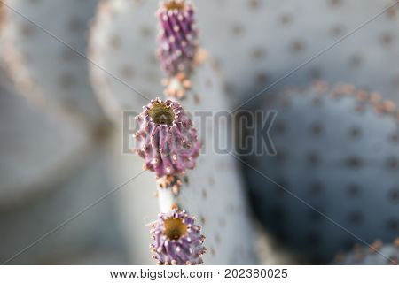 Prickly Pear On Cactus