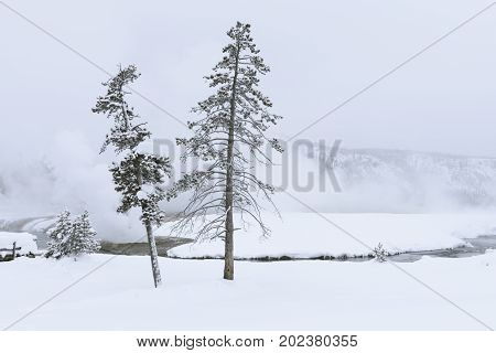 Pine Trees Surrounded by Snowy Winter Landscape