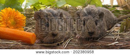 a cute guinea pigs - close up