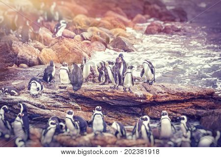 Big family of penguins, many cute little animals on the rocks near the water, flightless birds on the stony bank of Atlantic Ocean, beautiful nature of a South Africa