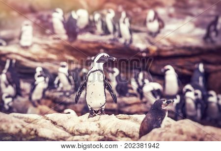 Big family of penguins, many cute little animals on the rocks, flightless birds on the stony bank of Atlantic Ocean, beautiful nature of a South Africa