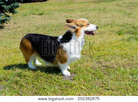 Cardigan Welsh Corgi stands on the grass. Cardigan Welsh Corgi stands in the park.