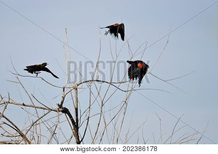 Three Red-Winged Blackbirds Taking to Flight From a Tree