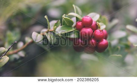 Ripe Red Lingonberry, Partridgeberry, Or Cowberry Grows In Pine Forest. - Vintage Effect