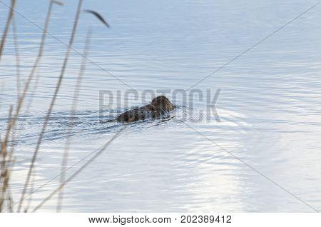 Coypu Animal Swimming Away in the Lake Water