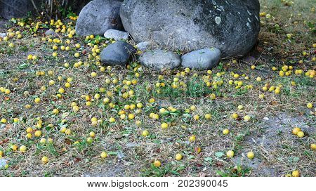 Plums, which fell from the trees among the boulders
