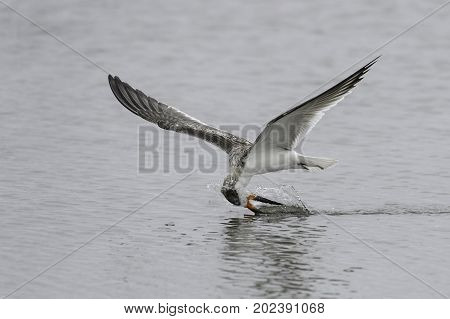 Black Skimmer dragging its bill to snare a fish