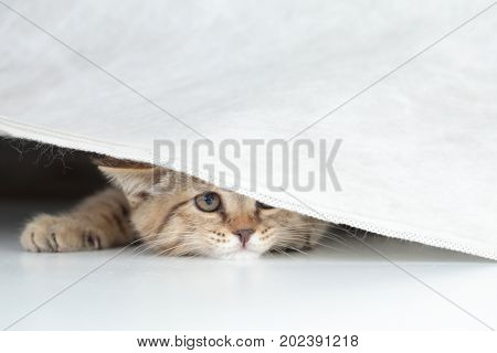 Funny cat looking from under curtain isolated