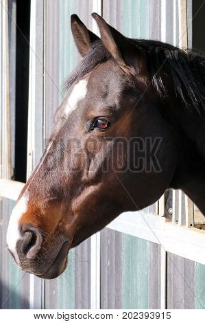 Portrait of a brown horse in stable