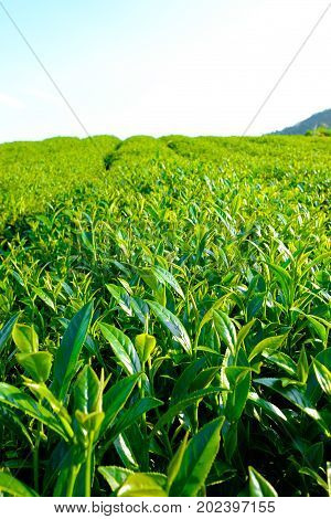 fresh organic tea bud & leaves plantation the famous Oolong tea area in Alishan mountain with blue sky and sun Taiwan