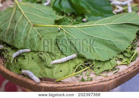 Silkworm is worm to creates a silk cocoon of yellow fibers use for weave of making Thai silk from cocoon use by homemade in Laos and Thailand