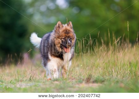 Cute Elo Puppy Walks Outdoors