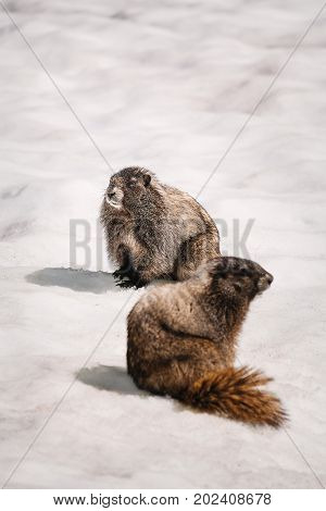 Yellow-bellied Marmots surfacing from it's burrow in the snow (Mount Rainier National Park)