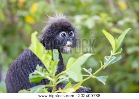 Dusky leaf monkey spectacled leaf monkey langur is sitting among leaves in a tree in the wild. Location: Perhentian island Malaysia.
