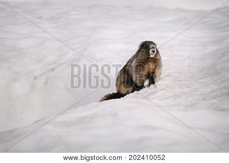 Yellow-bellied Marmot surfacing from it's burrow in the snow (Mount Rainier National Park)