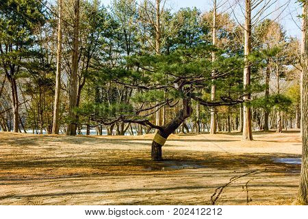 lone pine tree in park, winter of South Korea