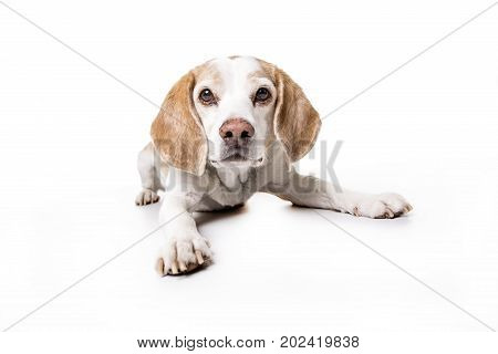 A cute puppy Beagle on white background