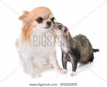 female ferret and chihuahua in front of white background