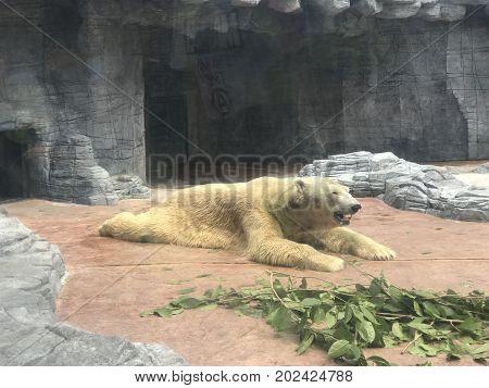 Captive polar bear resting on the ground