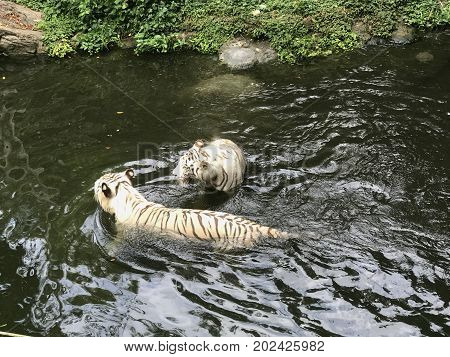 Pair of white bleached tigers swimming in a river