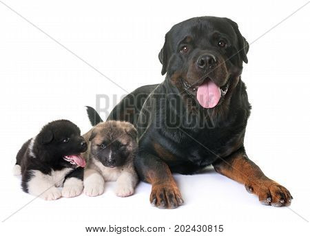 puppies american akita and rottweiler in front of white background