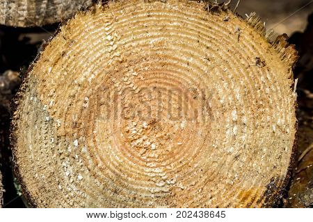 Slice of tree trunk. The texture of cut wood. Hiking fuel for camping. Natural chopped wood.