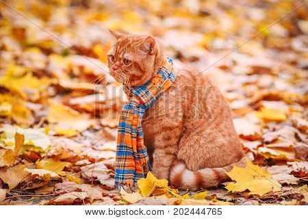 British shorthair red cat in autumn. Red cat with colorful leafs