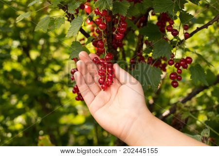 Ripe Red Berry Of Currant On Child Hand In Fruit Garden Close Up. Harvest Currant.