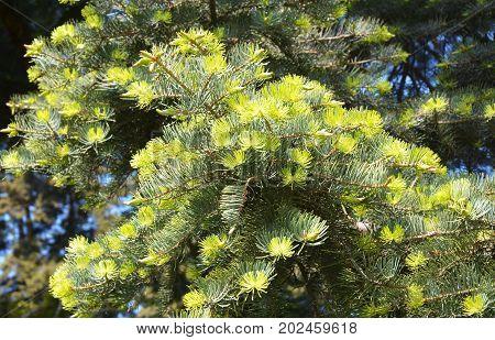 Beautiful Abies concolor (Gordon & Glend.) Lindl. ex Hildebr or California White Fir Colorado Fir Low's Fir White Fir.