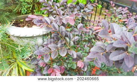 Loropetalum chinense Chinese Fringe Flower or Chinese Witch Hazel
