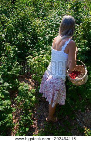 Blonde woman in summer dress with basket gathering red outdoors fresh organic berries from bushes