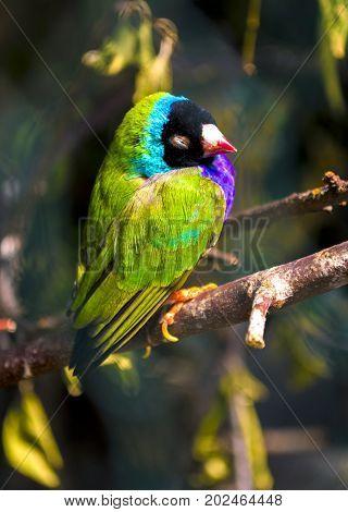 Guldova Amadina. finch . little green bird