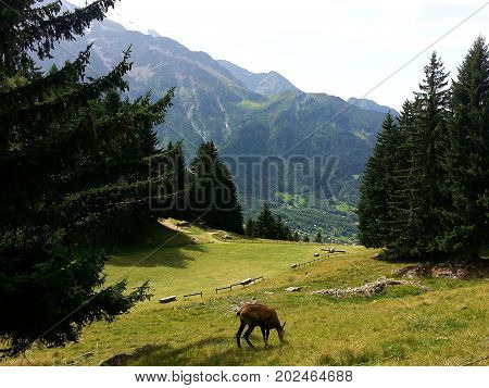 Chamois eating grass in front of Mont Blanc moutain French Alps