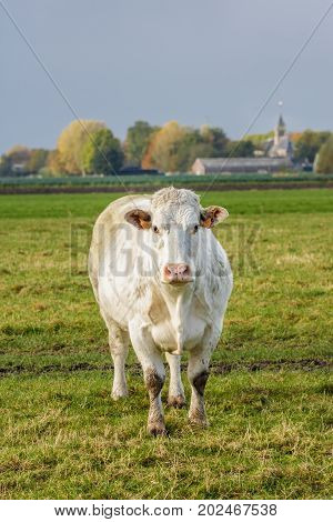 North Holland the Netherlands - November 5 2016: Dutch beef cow in a grass field