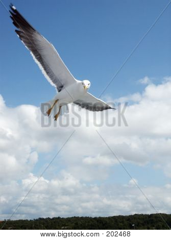 Seagull In The Flight