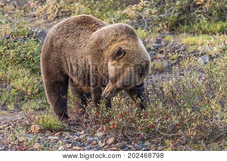 a grizzly bear feeding on berries in Denali National Park Alaska in early fall
