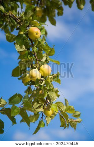 A beautiful natural apples hanging in the apple tree in the end of summer. Countruside landscape in orchard.
