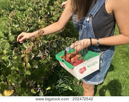 A woman picks raspberries on a pick your own farm