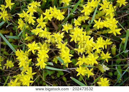 Sedum acre, commonly known as the goldmoss stonecrop, mossy stonecrop, goldmoss sedum, biting stonecrop, and wallpepper, blooms on a lawn in Cadillac, Michigan, during June.