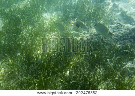 picasso fish close view in Indonesia sea