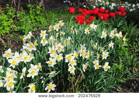 White spring narcissus flowers with red tulips flower bed. Narcissus flower also known as daffodil daffadowndilly narcissus and jonquil.