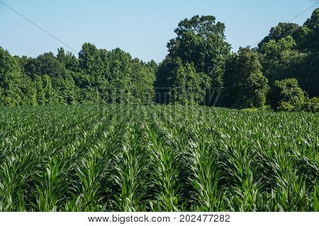 Background image of a southern cornfield in late spring.