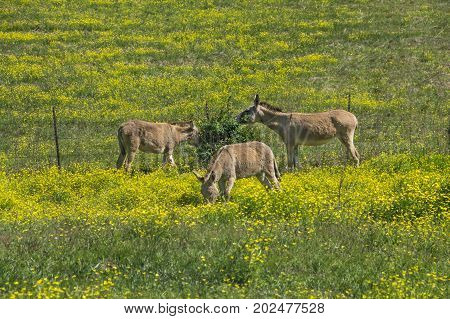 Three Burros grazing in a north Mississippi pasture.