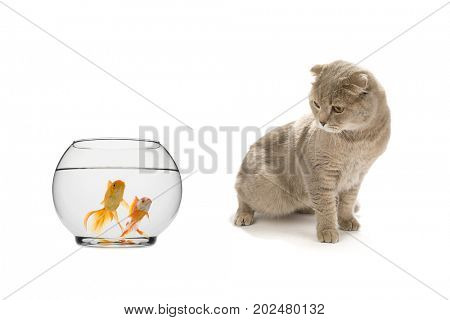 Scottish Fold Looking at Goldfish Isolated