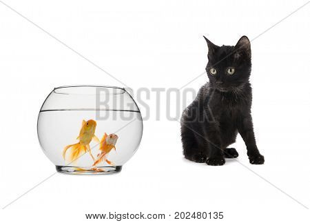 Black Cat Looking at Goldfish Isolated