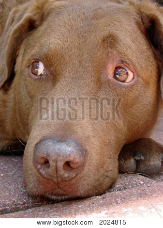 Retriever Close-Up