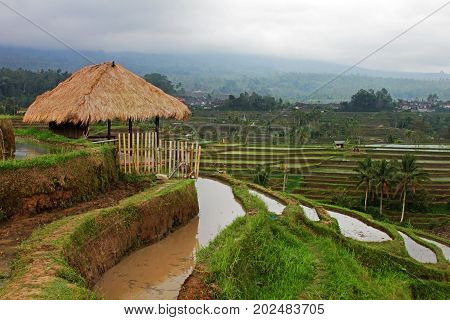 Terraced rice paddies with crops. Bali, Indonesia