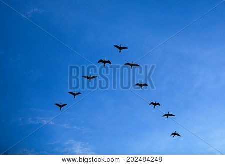 Group of birds flying V shape over blue sky, Flock of bird flying in V-formation