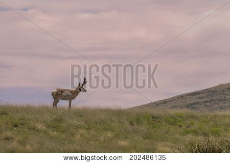 a pronghorn antelope buck on a ridge